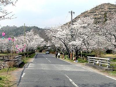 【3/22~4/9】井原桜まつり:相原公園(いばらさくらまつり:あいばらこうえん)