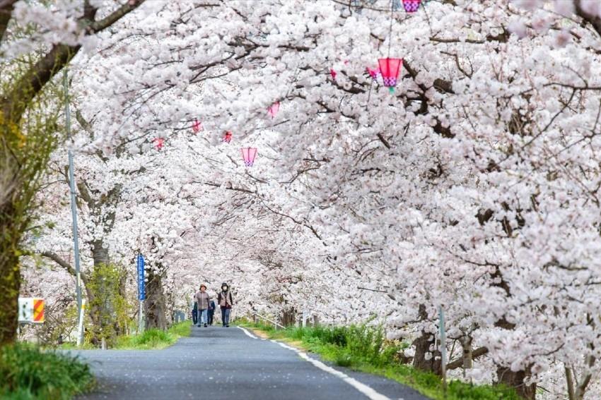 【4/7】井原桜まつり