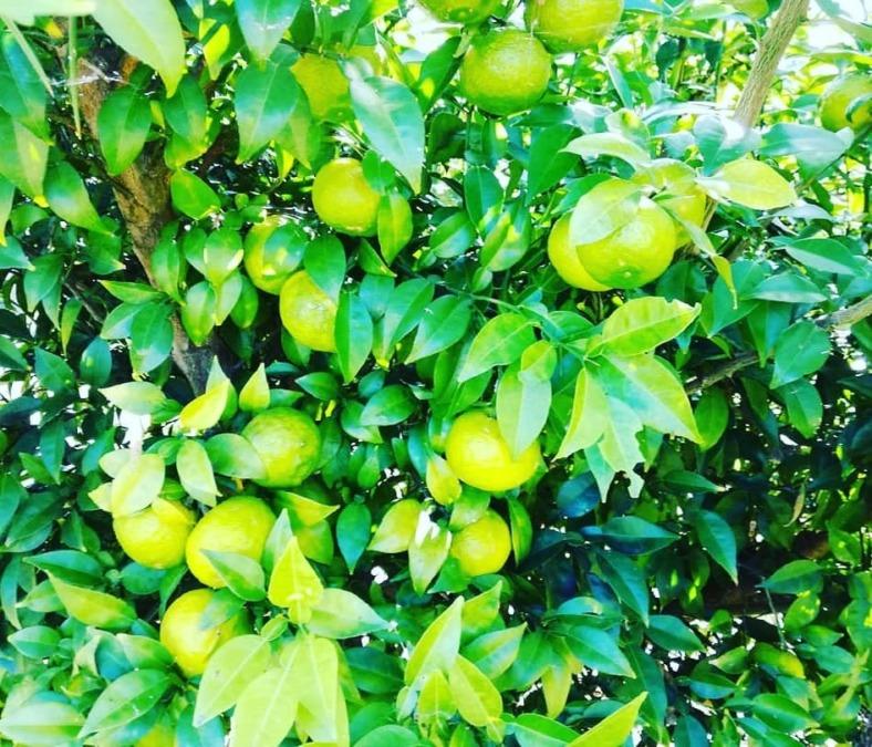 柚子の収穫、販売を開始しました