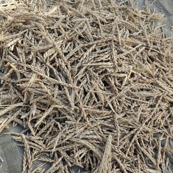 #スペルト小麦