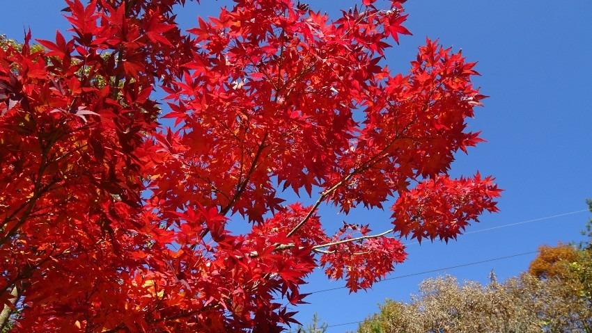 11月15日 野上の紅葉