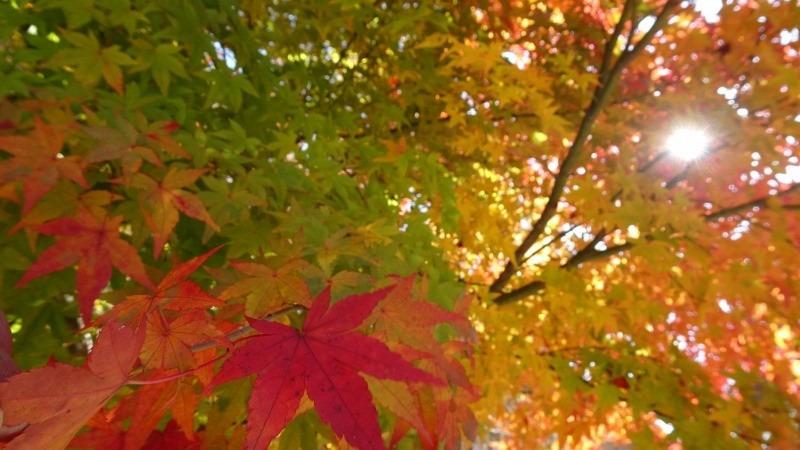 11月14日 野上の黄葉
