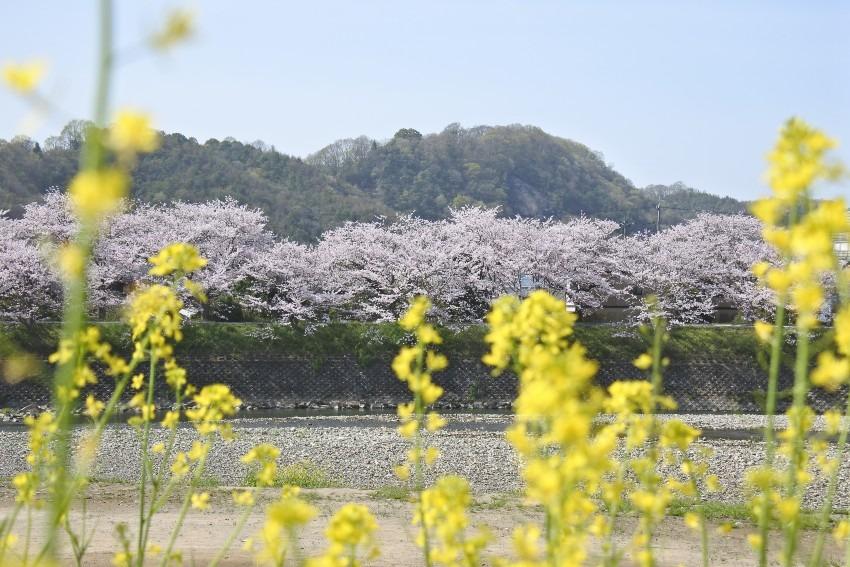 2021年 桜の土手