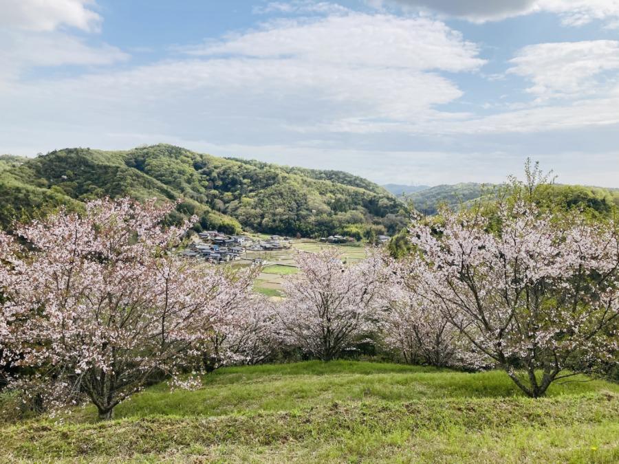 匠ヶ城跡で桜の花吹雪シャワー!